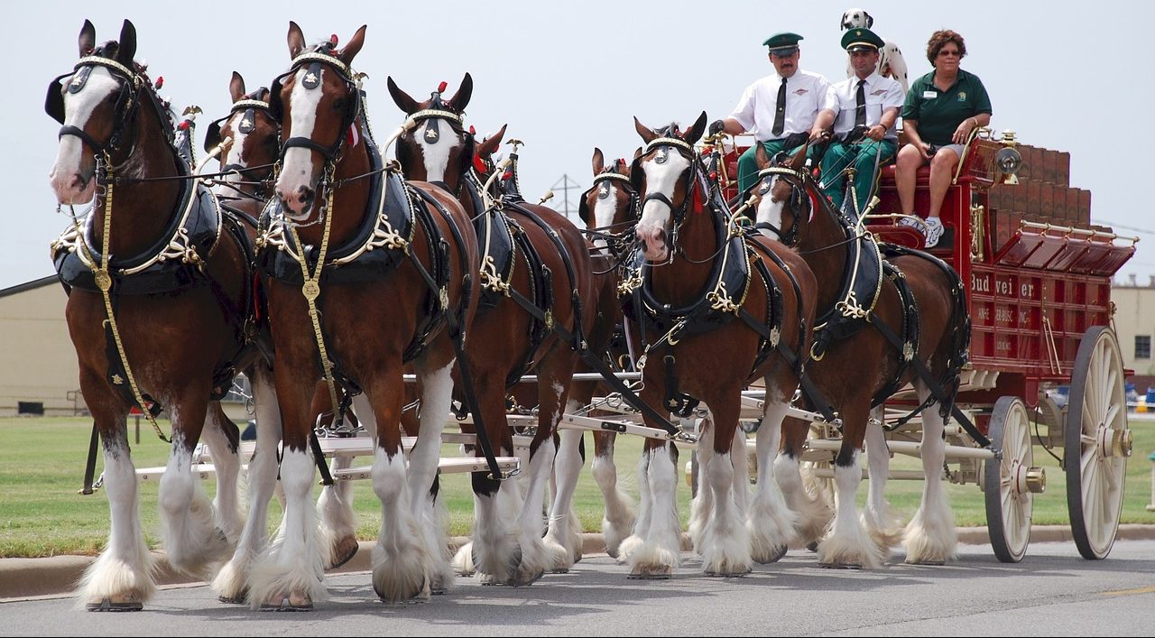 Mt Baker Clydesdale Horses The Gentle Giants Mt Baker Clydesdales